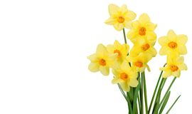 Daffodil. Flower spring isolated plant yellow cut flowers royalty free stock image