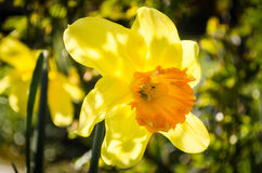 Daffodil. S in dappled sun in garden Royalty Free Stock Images
