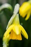 Daffodil de florescência Fotos de Stock