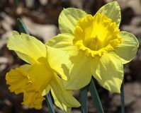 Daffodil Delight. Two bright yellow daffodil blooms on green stems with brown leaves in backgroud royalty free stock image