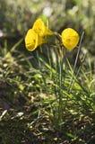Daffodil dell'isolatore a campana del cerchio Immagini Stock Libere da Diritti
