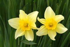 Daffodil Detail Stock Photos