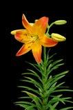 Daffodil di colore giallo arancione Immagini Stock Libere da Diritti