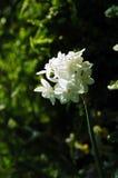 Daffodil di Paperwhite Ziva Tazetta Immagine Stock Libera da Diritti