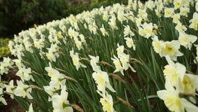 Daffodil dolly shot stock video