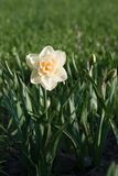 Daffodil double narcissus in the garden. Latvia, Europe Stock Image