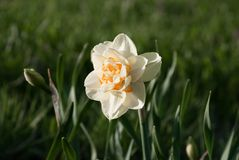 Daffodil double narcissus in the garden. Latvia, Europe Stock Photo