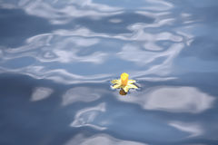 Daffodil drifting in blue water stock photo