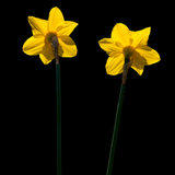 Daffodil Duo. A couple of yellow daffodils enjoy the sunshine royalty free stock image