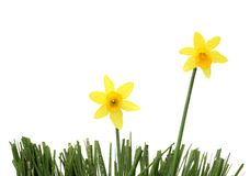 Daffodil-duo Royalty Free Stock Photography