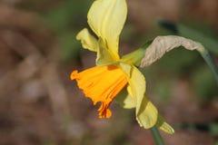 daffodil dziki zdjęcia royalty free