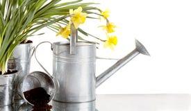 Daffodil e ainda vida watercan Imagens de Stock Royalty Free