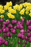 daffodil e tulipano   immagini stock