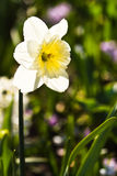 Daffodil in early morning sunshine Royalty Free Stock Photography