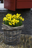 Daffodil easter decoration of street. Royalty Free Stock Photo