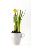 Daffodil em um copo Fotografia de Stock