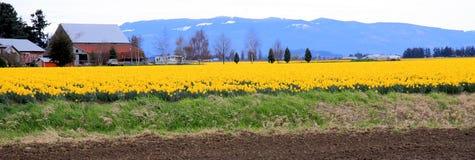 Daffodil Farm Royalty Free Stock Photo