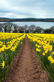Daffodil Farm Royalty Free Stock Photos
