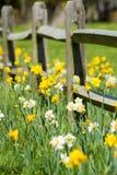 Daffodil Fence Stock Photo