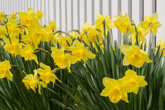 Daffodil Fence. A row of daffodils against a simple background of a white fence Royalty Free Stock Photos