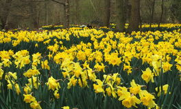 Daffodil field. In forest taken in England Royalty Free Stock Image