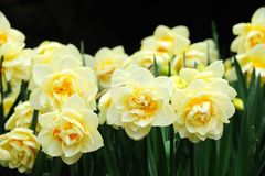 Daffodil field Royalty Free Stock Images