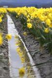 Daffodil Field Royalty Free Stock Photo