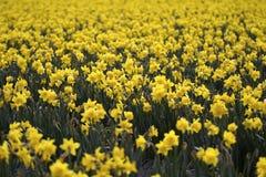 Daffodil Field Royalty Free Stock Photos