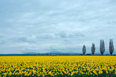 Free Daffodil Field Royalty Free Stock Images - 21210149