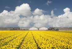 Daffodil field. With greenhouses on the back Royalty Free Stock Photo