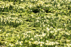 Daffodil field Royalty Free Stock Photography