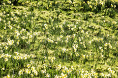 Daffodil field Stock Images