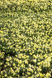 Daffodil field Royalty Free Stock Image