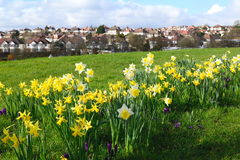 Daffodil field. Dafodil field in High Barnet, London Stock Photos