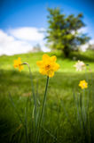 Daffodil in a field Royalty Free Stock Photos