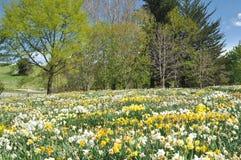 Daffodil field in spring Stock Photo