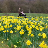 Daffodil field Royalty Free Stock Photos