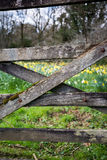 Daffodil fields through the gate Stock Images