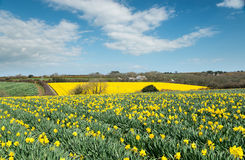 Daffodil Fields Royalty Free Stock Image