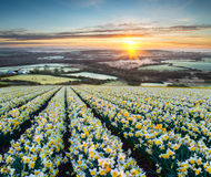 Daffodil Fields Royalty Free Stock Photos