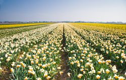 Daffodil fields in yellow, orange and white Royalty Free Stock Photo