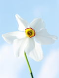 Daffodil flower. On blue sky background stock image