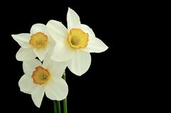Daffodil flower. On a black background Royalty Free Stock Photography