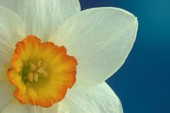 Daffodil flower Stock Photos