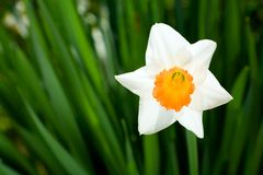 Daffodil flower. White daffodil on the green background Royalty Free Stock Photo