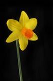 Daffodil flower against black Stock Photo