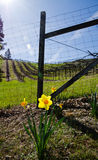 Daffodil flower against the fence. Vineyard scene with flower on the foreground Stock Photography