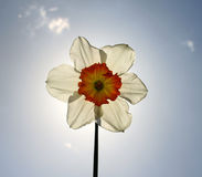Daffodil flower backlighted with sun Royalty Free Stock Photography