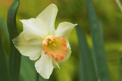 Daffodil flower in bloom. Macro view of daffodil flower in bloom with green nature background Royalty Free Stock Image