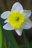 Daffodil flower in bloom. Macro view of daffodil or narcissus flower in bloom with green nature background Stock Photo